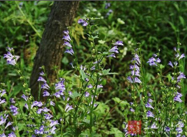 半枝莲为唇形科植物半枝莲的全草及根。又名狭叶韩信草、并头草。性凉,味微苦。功能为清热解毒、活血化瘀、利水消肿。主治毒蛇咬伤、疔疮疖肿。