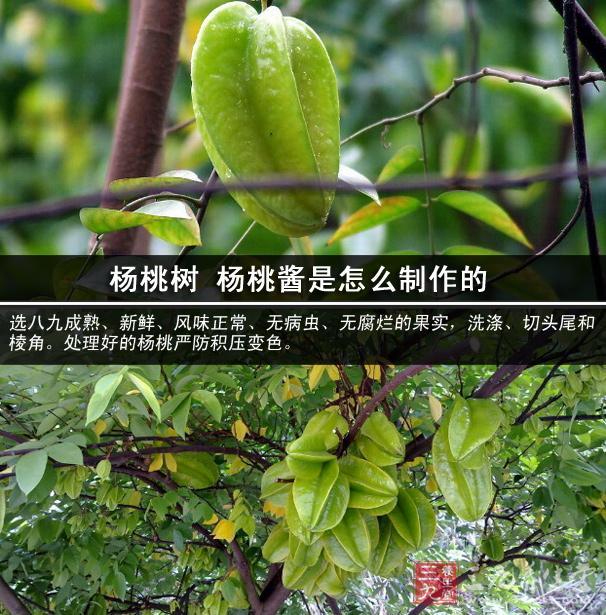 杨桃树 杨桃酱是怎么制作的