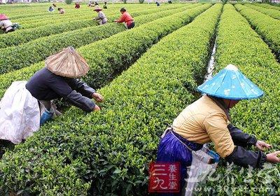 小满节气期间茶叶农事安排和技术要点