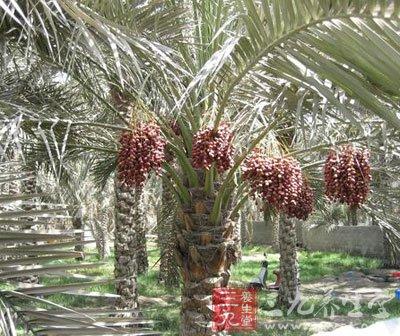 椰枣的功效与作用