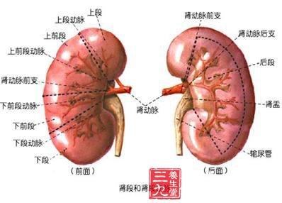 肾显微镜手绘图