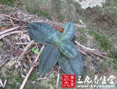 肺形草-三九养生堂