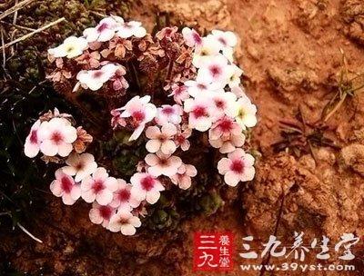 méi   【来源】      药材基源:为报春花科植物匙叶点地梅的图片