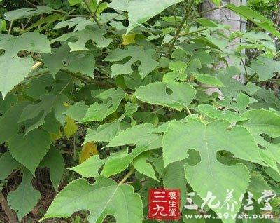 楮树,沙纸树,谷木,谷浆树      【来源】桑科楮属植物构树
