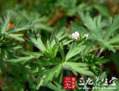 【别名】变豆菜,肺形草