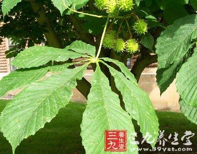 浙江七叶树
