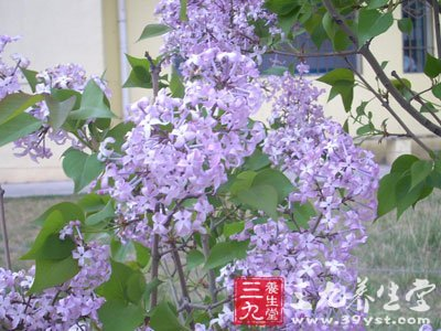 拉丁植物动物矿物名:cymbopon citratus(d c.