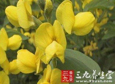 豆科植物披针叶黄华的全草