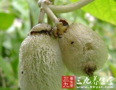 猕猴桃科植物毛花猕猴桃的根及根皮