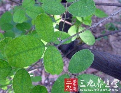 zhī zǐ      【别名】铁鞭草,米汤草      【来源】豆科多花胡枝子