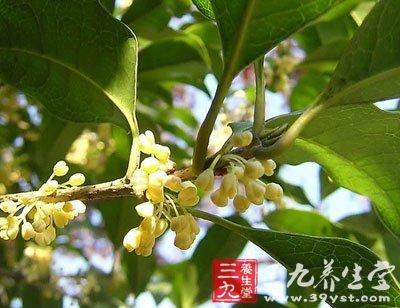 树皮灰褐色.小枝黄褐色,无毛.叶对生,叶柄长0.8-1.