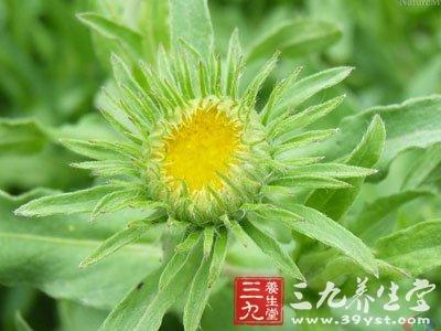 中草药大全       (3)线叶旋覆花 茎横切面与旋覆花相似,但细胞较小