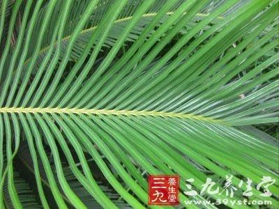 剑叶铁树叶图片