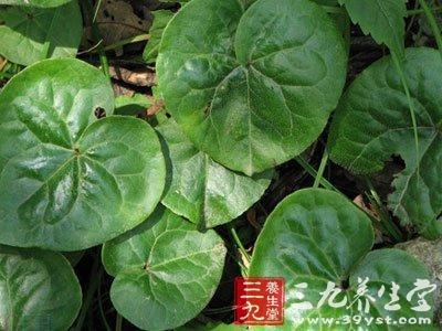 植物细辛根茎叶结构图
