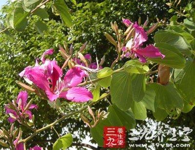 老白花树皮 - 第1张  | 中草药图片大全-中药的功效与作用