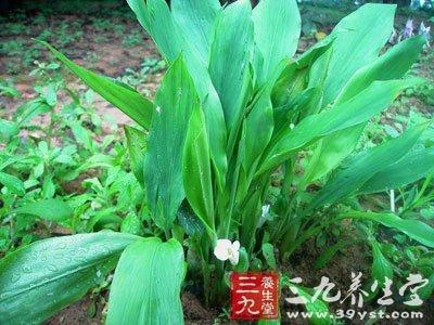 根状茎圆形或椭圆形,表面棕褐色,有膜质叶鞘,芳香而有辛辣味.图片