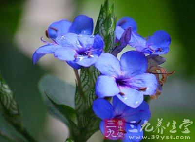 拉丁植物动物矿物名:eranthemum pulchellum andrews [jus-ti