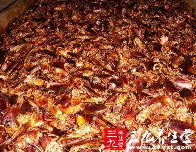 蟑螂工厂 美洲大蠊可改善肠胃炎