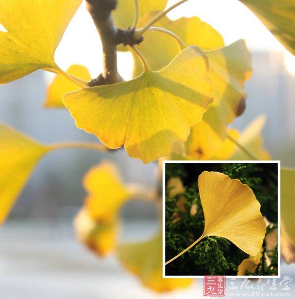 银杏叶的功效与作用-银杏叶分散片 能够活血化瘀通脉舒络