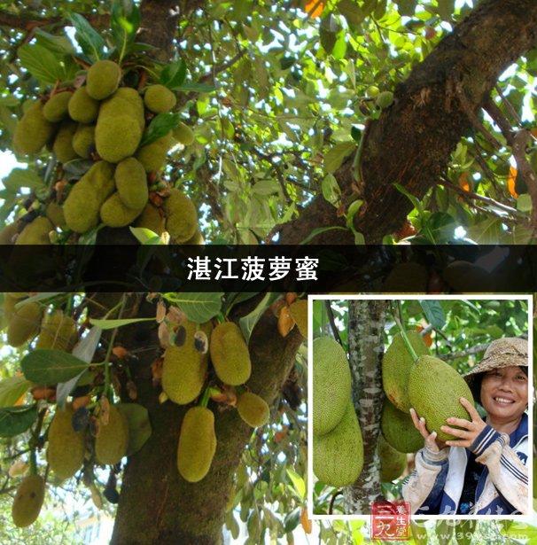 """菠萝蜜我们现在经常能见到,但我们都看到的是果实,菠萝蜜树生长在热带地区,有些地区的人是看不到的。菠萝蜜有着""""热带果王""""的称号。不仅因为它的体积大,还有它的营养价值非常高。今天小编给大家介绍下菠萝蜜的另一种品种湛江菠萝蜜吧!   湛江菠萝蜜   菠萝蜜,学名木菠萝,在广东称作""""树菠萝"""",而在海南和徐闻则称之为""""包萝""""。菠萝蜜是一种桑科乔木。原产于印度和马来西亚,在热带潮湿地区广泛栽培。关于菠萝蜜在中国的栽培历史,明代诗人王佐曾在他的"""