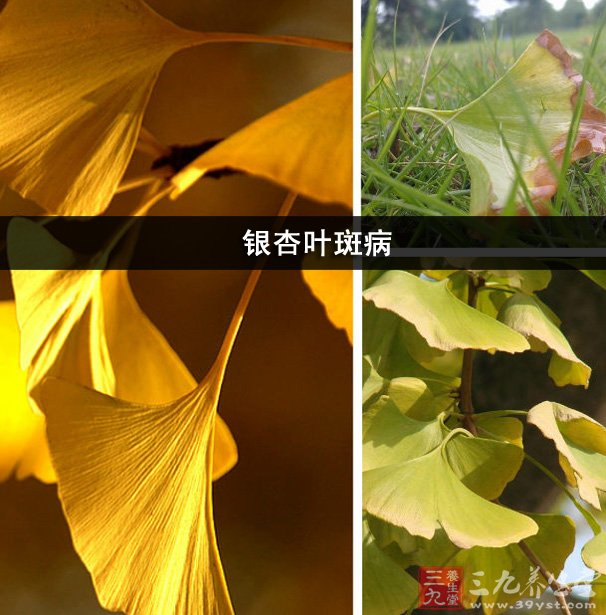 秋天银杏叶贴画