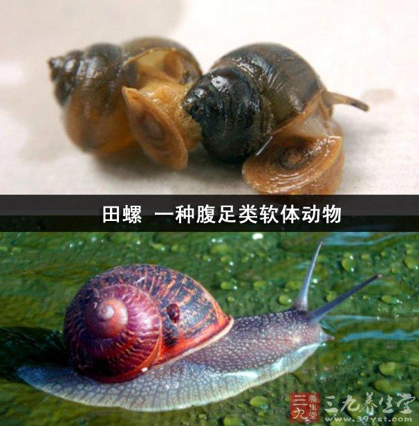 田螺 一种腹足类软体动物