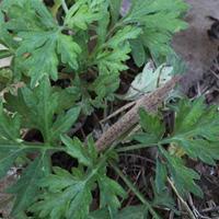 吃艾葉的好處 推薦三款春季艾草藥膳方
