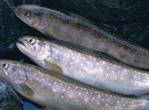 适合胆固醇高的人吃的鱼