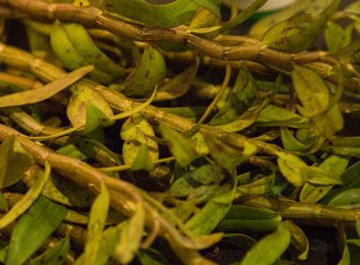 铁皮石斛种苗高效繁殖有法