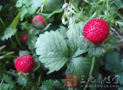 蛇莓是一种野生的果子