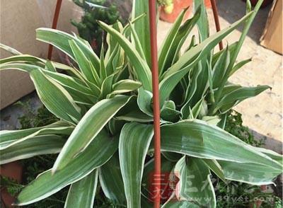 这几款植物能吸收甲醛 家里一定要准备